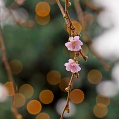 Cherry blossoms and a Christmas tree in Stockholm, at the same time! (Franz Airiman) Tags: stockholm sweden scandinavia cherry körsbär sakura cherryblossom kungsträdgården körsbärsblommor julgran gran christmastree xmastree kingsgardenpark
