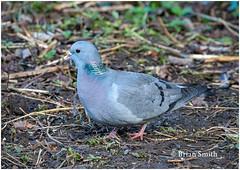 Stock Dove, Clara Vale NR (Greg's Old Feller) Tags: bird birdwatching wildlife nature