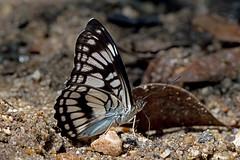 Athyma ranga - the Black Veined Sergeant (BugsAlive) Tags: butterfly mariposa papillon farfalla 蝴蝶 dagvlinder 自然 schmetterling бабочка conbướm ผีเสื้อ animal outdoor insects insect lepidoptera macro nature nymphalidae athymaranga blackveinedsergeant limenitidinae wildlife chiangdaons chiangmai ผีเสื้อในประเทศไทย liveinsects thailand thailandbutterflies nikon105mm bugsalive ผีเสื้อจ่าเส้นปีกดำ