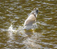 Moment Of The Catch (Part 2) (John Kocijanski) Tags: ringbilledgull gull bird water animal wildlife nature canon400mmf56 canon7d wa
