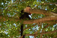 Costa Rica. Guanacaste. Hotel Rui Guanacaste. White faced capuchin monkey. (Anne & David (Use Albums)) Tags: costarica rui gunacaste iguanas birds fun hotelguanacaste allinclusive hot