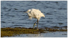 Little Egret braving the Winter wind. (Jeremy Eyeons) Tags: egrettagarzetta littleegret egret rspb freistonshore lincolnshire wader bird