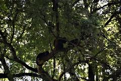 Costa Rica. Guanacaste. Hotel Rui Guanacaste. Howler monkeys. (Anne & David (Use Albums)) Tags: costarica rui gunacaste iguanas birds fun hotelguanacaste allinclusive hot
