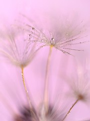 Pink Wishes (Ronnie Gaye) Tags: dandelion plant flora seed pink soft pastel dreamy wishes waterdrop droplet macro extensiontubes smileonsaturday getnatureinyourhome