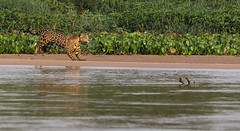 When The Jaguar Started ... (AnyMotion) Tags: jaguar pantheraonca onçapintada cat cats katzen katze hunting jagend running water wasser sandbank 2019 anymotion sãolourençoriver pantanal matogrosso brazil brasilien southamerica südamerika américadosul travel reisen animal animals tiere nature natur wildlife 7d2 canoneos7dmarkii jaguarmorninghunt