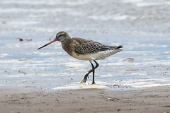 Bar Tailled Godwit (Dougie Edmond) Tags: scotland unitedkingdom southayrshire bird nature wildlife