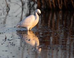 Little Egret (Whistling Joe) Tags: whistlingjoe canoneos5dmkiv canonef600mmf4lismkiiusm canonefextender14xiii rspb minsmere little egret