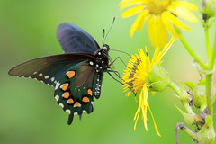 Spicebush Swallowtail Butterfly (mnolen2) Tags: insect wildlife nature summer plant cup flower butterfly swallowtail spicebush