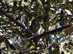 Costa Rica. Guanacaste. Hotel Rui Guanacaste. Screech owl.  It does not screech though. (Anne & David (Use Albums)) Tags: costarica rui gunacaste iguanas birds fun hotelguanacaste allinclusive hot