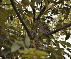 Costa Rica. Guanacaste. Hotel Rui Guanacaste. A pair of Screech owl.  It does not screech though. (Anne & David (Use Albums)) Tags: costarica rui gunacaste iguanas birds fun hotelguanacaste allinclusive hot