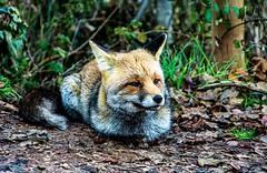 La guineu que ens va fer companyia. (De carrusel) Tags: 2019 animales paisajes varios carrusel