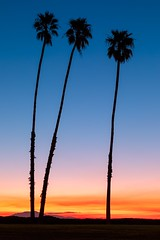 Three Palms (Dave Hoefler) Tags: palmtrees california sunrise morning vertical bluesky santabarbara canoneos5dmarkiv canonef2470mmf28lusm nopeople outdoors