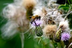 Wild thistle (M.Shafiq Chandaiser) Tags: wild seedheads bee thistle plants green dreamy macro