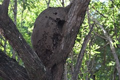 Costa Rica. Guanacaste. Hotel Rui Guanacaste. Termite nest on a tree.  They are the recyclers of the forest. (Anne & David (Use Albums)) Tags: costarica rui gunacaste iguanas birds fun hotelguanacaste allinclusive hot