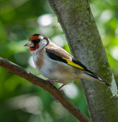 Goldfinch (saxman1597) Tags: goldfinch bird nature wildlife beauty nikond90 sigma150500vr portrait