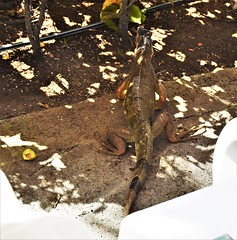 Costa Rica. Guanacaste. Hotel Rui Guanacaste.  Green iguanas.  Yes they aren't just green, they changeas they become adult and in the breeding season. (Anne & David (Use Albums)) Tags: costarica rui gunacaste iguanas birds fun hotelguanacaste allinclusive hot
