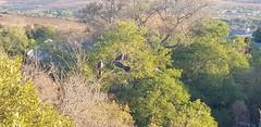 Birds on the treetop (Rckr88) Tags: magaliesburg southafrica south africa birds treetop birdsonthetreetop bird mountains magaliesburgmountains magaliesburgmountain mountain green tree trees mountgrace mount grace