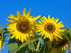 Sunshine on a Cloudy Day (macromerriment) Tags: green sunflower helianthusannuus helianthus annuus nature flora floral flower flowers garden bloom blossom outdoors outside colour color light yellow blue sky seeds richmond bc britishcolumbia canada terranovapark communitygardens