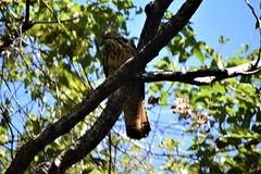Costa Rica. Guanacaste. Hotel Rui Guanacaste. An unrecognised hawk. (Anne & David (Use Albums)) Tags: costarica rui gunacaste iguanas birds fun hotelguanacaste allinclusive hot