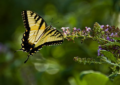 Sunlit~ (Paul. (mp13 nhnc)) Tags: butterfly swallowtail bokeh sun butterflybush green gold black yellow