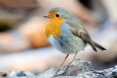 Mr. Robin Pettirosso (Serena Zilio) Tags: robin pettirosso bird birdwatching