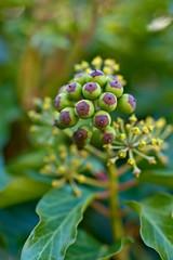 Ivy (pstenzel71) Tags: natur pflanzen sträucher ivy efeu hederahelix darktable bokeh ilce7rm3 sel90m28g