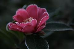 double coeurs (christophe.laigle) Tags: christophelaigle fuji xpro2 xf60mm camelia fleur flower frost frosty givre macro nature pink rose winter