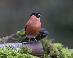 Bullfinch (m) (peterspencer49) Tags: peterspencer peterspencer49 bullfinch bird somerset southwest uk