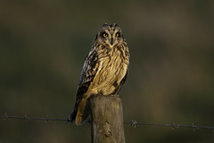 Finally! (Chris Bainbridge1) Tags: asioflammeus short eared owl perched post golden hour sunset
