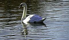 Swan and ripples (TomIestyn) Tags: ireland northernireland victoriapark belfast sydenham connswater swan river stream ripples reflections waterfowl bird nature wildlife