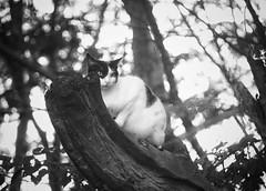 Cat bokeh (Mister Blur) Tags: happy bokeh monochrome thursday momo cat european domestic hmbt blackandwhite blancoynegro noireetblanc bw shallow depthoffield dof profundidaddecampo distanciafocal high contrast snapseed nikon d7100 55200mm nikkor lens f50 rubén rodrigo fotografía littledoglaughednoiret