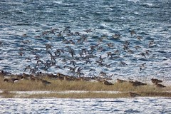 What's that Flock?..x Knot? (Lisa@Lethen) Tags: birds moray firth scotland sea beach flying