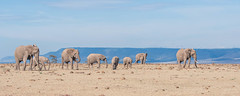 Ambling along (Tris Enticknap) Tags: africa kenya elephant africanelephant maranorthconservancy masaimara loxodontaafricana
