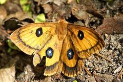 Aglia tau DSC05257 (imanh) Tags: insect vlinder iman imanh heijboer butterfly aglia tau emperor
