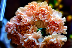 Do you like carnations? (Fnikos) Tags: flower flowers flor flores fiore fiori carnation clavel nature naturaleza natura color colour colores colours colors dark light shadow shadows dof depth depthoffield bokeh outside outdoor