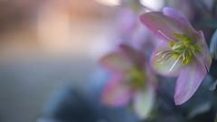 Helleborus. (look to see) Tags: helleborus nieskruid bokeh bokehlicious mood pastel kleur color vintagelens iscogöttingenedixawestanar50mmf2 warmte warmth winter soft 2020