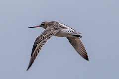 Bar Tailled Godwit (Dougie Edmond) Tags: bird nature scotland unitedkingdom wildlife southayrshire