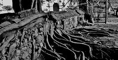 MEXICO, Hazienda-Parador Museo Santa Maria, Wurzeln, 19448/12272 (roba66) Tags: haziendaparadormuseosantamaria hazienda hacienda farm kaffurlaub reisen travel explore voyages rundreise visit tourism roba66 mexiko mexico mécico méjico nordamerika northamerica zentralamerika yukatanhalbinsel 2017 chiapas eefarm romantik urig baum bäume tree trees albores arberi arbes monument building bau fassade façade platz places arquitetura urban historie history historic historical geschichte architektur blackwhite bw sw branco negro blackandwhite blancoenero blancoynegro monochrome byn bretoebranco einfarbig schwarzweis garten garden jardin wurzeln mauer wall