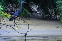 AIRONE BLU   ---   GREAT BLUE HERON (Ezio Donati is ) Tags: uccelli birds animali animals natura natureforesta forest spiaggia beach acqua water laguna lasoon westafrica costadavorio ilesehotele nikond500 nikon200500mm