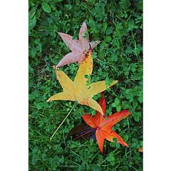 Three... (Robyn Hooz) Tags: padova leaves colors natura winter autumn acero maple
