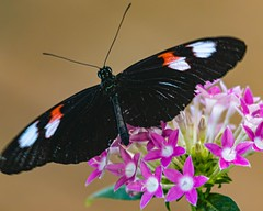 Heliconius Butterfly and Flowers (Stephen G Nelson) Tags: insect butterfly heliconius longwing flower botanicalgarden tucson arizona