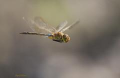 Anax ephippiger (Pipa Terrer) Tags: anaxephippiger odonata insecta invertebrados insectos cartagena anisoptera libélula