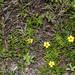 2016-04-14 TEC-2784 Turnera cf. ulmifolia - E.P. Mallory