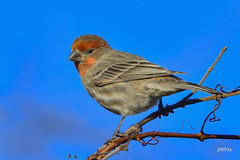 House Finch (jt893x) Tags: bird d500 finch haemorhousmexicanus housefinch jt893x male nikon nikond500 sigma sigma150600mmf563dgoshsms songbird