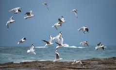 Gulls and Terns (David Hamments) Tags: bird norahhead stormclouds gullsandterns bif birdsinflight nsw