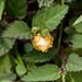 2012-08-05 TEC-004 Sida rhombifolia - E. P. Mallory-5
