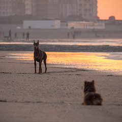 Your place or mine (Drummerdelight) Tags: low pov lowpov dog beach seaside bokeh humor fun stare pointofview