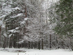 winter forest (VERUSHKA4) Tags: canon europe russia moscow ville city view vue park kuskovo tree nature january forest pinetree season snow neve blanc verdure branch bough winter hiver pond winterscape day