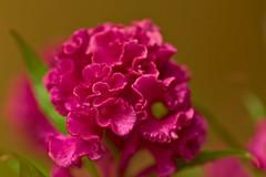 Celosia (pstenzel71) Tags: blumen natur pflanzen celosia celosiacristata hahnenkamm cockscomb darktable flower bokeh ilce7rm3 sel90m28g