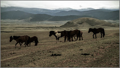Vent arrière (ericguéret) Tags: yashica t5 zeiss 35mm mongolie steppe chevaux horses vent windy mongolia downwind avril 1999 springtime printemps nikoncoolscan
